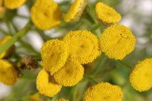цветки пижмы крупный план