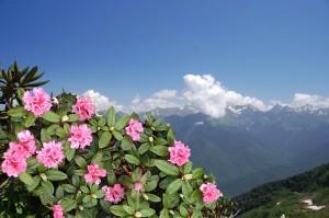 рододендрон Адамса цветет в горах
