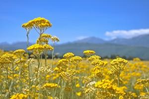 цветы бессмертника