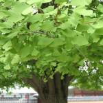 Гинкго билоба дерево с зеленой листвой