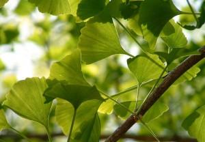 гингко двулопастный ветви с листьями