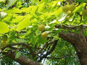 гингко двулопастный ветви с листьями и плодами