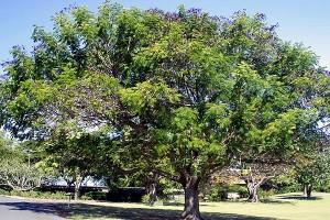 Тамаринд индийский дерево