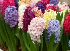 цветущие гиацинты разных цветов