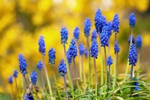 голубые гиацинты на солнышке