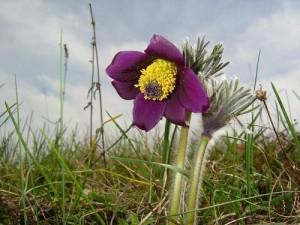 Прострел луговой цветок крупный план
