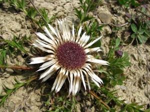 Колючник бесстебельный соцветие крупный план