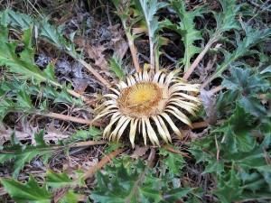 Колючник бесстебельный соцветие и листья