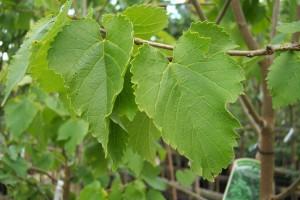 Листья шелковицы на ветвях