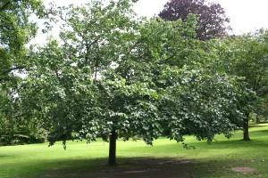 Тутовое дерево в парке