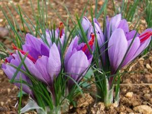Шафран посевной цветки