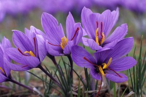 Шафран посевной цветы