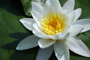 Кувшинка белая цветок крупный план