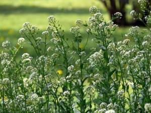 Ярутка полевая растения в природе