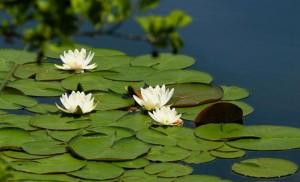 Кувшинки белые в воде