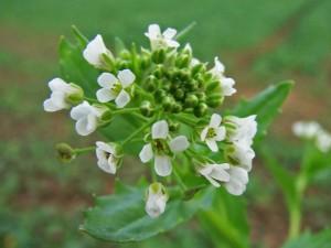 Ярутка полевая соцветие крупный план