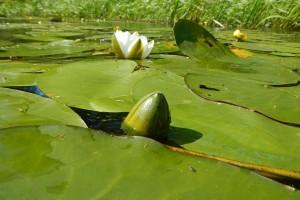 Кувшинка белая листья бутон и цветок