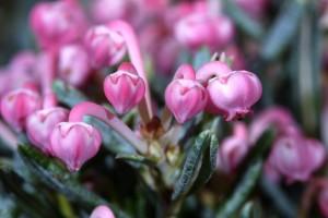 Андромеда многолистная цветы крупный план