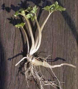 Адокса мускусная растение с корнем