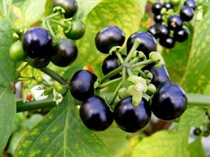 Паслен черный с плодами