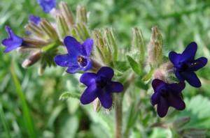 Цветки анхузы
