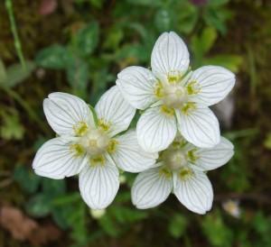 Белозор болотный цветы крупный план