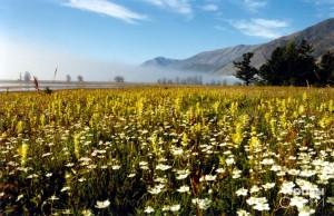 Заросли белозера болотного у гор