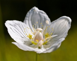 Цветок белозера болотного крупный план