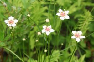 Белозор болотный цветки