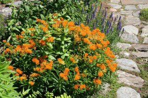 Оранжевый ваточник в саду