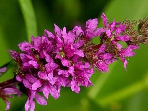 Дербенник иволистный цветы крупный план