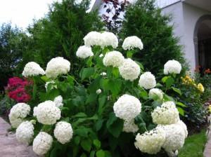 Гортензия древовидная цветущая в саду