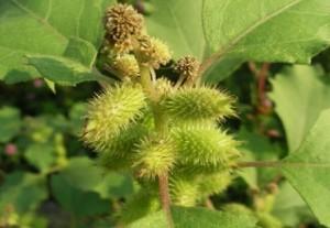 Дурнишник обыкновенный плоды