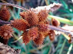 Спелые плоды дурнишника обыкновенного