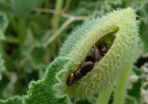 Плод бешеного огурца с семенами