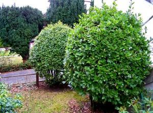 Лавр благородный деревья в саду