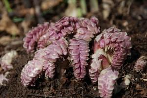 Петров крест чешуйчатый растение