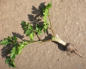 Бутень клубненосный растение с корнем