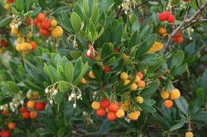 Земляничное дерево обыкновенное с плодами