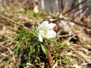 Ветреница алтайская в лесу цветок