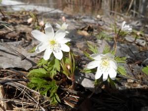 Ветреница алтайская два цветка