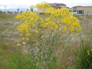 Вайда красильная растение в полный рост