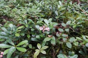 Зимолюбка зонтичная в лесу