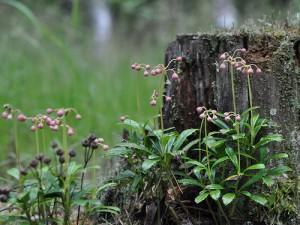 Цветы зимолюбки в лесу