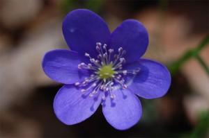 Печеночница благородная цветок крупный план