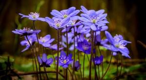Печеночница благородная цветы