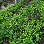 Селезеночник очереднолистный в лесу