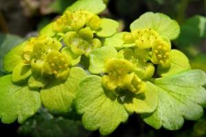 Селезеночник очереднолистный цветы крупный план