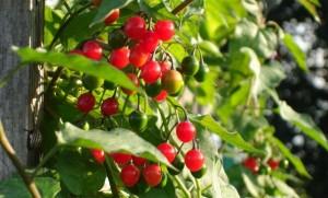 Паслен сладко-горький растение с плодами