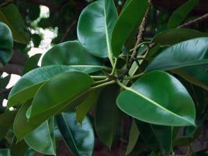 Фикус каучуконосный листья